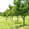 Produtos derivados da árvore de origem indiana ganham mercado como eficientes, seguras e econômicas alternativas ao uso de defensivos e adubos químicos nas lavouras e criações Oaumento das exigências na […]