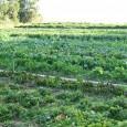 Após as discussões na COP17 (http://www.oeco.com.br/cop17) sobre mudanças do clima, seus impactos em países menos desenvolvidos e os riscos para a produção agrícola, um grupo de especialistas internacionais em agricultura […]