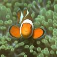 As crescentes emissões de dióxido de carbono (CO2) podem afetar o cérebro e o sistema nervoso central dos peixes marinhos, com sérias consequências para a sua sobrevivência, revelou um estudo […]