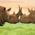 A WWF deu um alerta sobre a situação dos rinocerontes na África do Sul. De acordo com números oficiais do governo, a caça ilegal desses animais está crescendo exponencialmente. Em […]