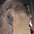 Um elefante de 44 anos conhecido como Win Thida recebeu uma lentes de contato para o olho esquerdo. O tratamento aconteceu no zoológico Artis, em Amsterdão, na Holanda. De uma […]