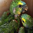 O tráfico de animais silvestres é o terceiro maior negócio ilegal do mundo, ficando atrás apenas do tráfico de drogas e armas. Segundo dados da ONG PEA (Projeto Esperança Animal), […]