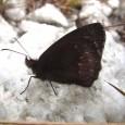 Pesquisadores das universidades Estadual de Campinas (Unicamp) e Federal do Rio Grande do Sul (UFRGS) descreveram uma nova espécie de borboleta, encontrada na região denominada Campos em Cima da Serra, […]