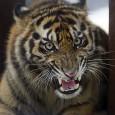 Toda uma vila foi realocada na Índia para ajudar na proteção aos tigres, informaram autoridades locais. Mais de 350 pessoas de 82 famílias da pequena cidade de Umri, na reserva […]