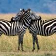 Pesquisadores da Hungria e da Suécia acabam de desvendar para o mundo um dos maiores mistérios do reino animal: autilidade das listras das zebras. Até hoje, acreditava-se que elas serviam […]