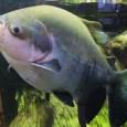 O tambaqui é a espécie de peixe mais cultivada na Amazônia e a segunda maior piscicultura de todo o Brasil. Tem grande valor no mercado pesqueiro e melhora a qualidade […]