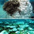 """Espécies de corais do sudeste asiático podem ter se adaptado a um aquecimento das águas ocorrido em 1998, segundo pesquisa publicada na sexta-feira (9) no jornal científico """"PLoS One"""". Elas […]"""