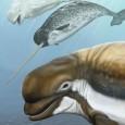 As baleias belugas e os narvais vivem somente em águas geladas do Ártico e subártico. Agora, os cientistas descreveram uma espécie ancestral que vivia em águas temperadas entre 3 milhões […]
