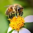 Pesquisa da Escola Superior de Agricultura Luiz de Queiroz (Esalq) da USP, em Piracicaba, revela que as abelhas são bioindicadoras de poluição ambiental. Durante as viagens para coleta de água, […]