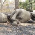 As Nações Unidas condenaram a caça ilegal de 450 elefantes no parque nacional Bouba Ndjida, na República dos Camarões, nos últimos dois meses. O marfim dos animais mortos é vendido […]