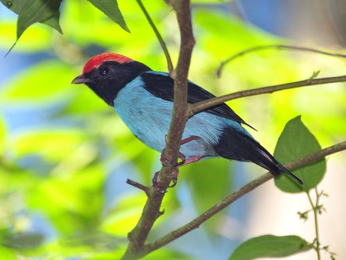 Tangará é o símbolo da biodiversidade em risco (Foto: Guilherme Serpa/1-9-2011)