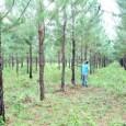 Engajado em um processo de desenvolvimento econômico aliado à sustentabilidade, o Tocantins demonstra resultados positivos em empreendimentos desenvolvidos na área da silvicultura, também conhecida como florestas plantadas. Um dos cultivos […]