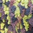 A busca cada vez mais intensa por alimentos sustentáveis determinou que, na edição da Festa Nacional da Uva de Caxias do Sul neste 2012, a uva orgânica tenha recebido um […]