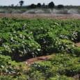 Um estudo holandês alerta para o consumo de água existente na agricultura atual, que chega a utilizar 92% da água doce no planeta, transformando a produção de alimentos e outros […]
