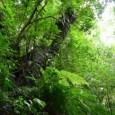 Dois estudos publicados recentemente sugerem que a conservação por si só (strito senso) é menos efetiva na redução do desmatamento do que florestas comunitárias geridas por indígenas ou povos que […]
