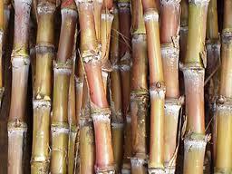 Pesquisa abre caminho para estudos genéticos da cana-de-açúcar