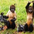 Animal fica no parque de Americana e se exibiu destruindo um saco plástico.Prefeitura diz que muitas vezes lixo da rua deságua no lago do zoológico. Um macaco prego de peito […]
