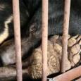 Grupos de defesa dos direitos dos animais na China estão intensificando esforços para pôr fim à pratica de criar ursos em fazendas para retirar a bílis dos animais. A bílis […]