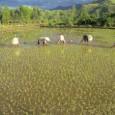 """Arrozais do delta do Rio Mekong já sofrem a elevação do nível do mar nessa zona que é a """"tigela de arroz"""" do Vietnã, o segundo maior exportador desse grão. […]"""