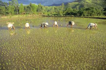 Mulheres plantam arroz de terras úmidas perto da baía de Lang Co, no Mar da China Meridional. Foto: Photostock/IPS