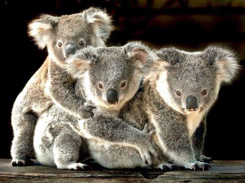 Urso coala entra pela primeira vez na lista de espécies ameaçadas