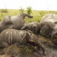 Militares da República Democrática do Congo divulgaram nesta terça-feira (24) a foto de carcaças de elefantes mortos por traficantes de marfim no Parque Nacional Garamba. Os 22 animais foram abatidos […]