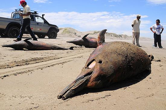 Golfinhos que apareceram mortos nas praias da costa norte do Peru, próximo a Chiclayo, a 750 quilômetros de Lima. Especialistas investigam a morte de 877 golfinhos entre fevereiro e abril deste ano.