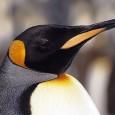 A população de pinguins-imperadores que habita a Antártida é quase o dobro do que se imaginava. A informação é de um estudo elaborado por cientistas britânicos com base em imagens […]
