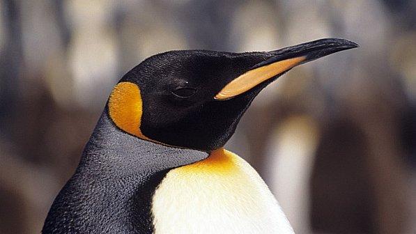 Censo via satélite vai ajudar a identificar fatores que ameaçam o pinguim-imperador, espécie que vive na Antártida e é afetada pela mudança do clima. || O pinguim-imperador é preto e branco como os outros pinguins, mas é maior e possui coloração alaranjada em volta do pescoço (Stockbyte/ThinkStock)