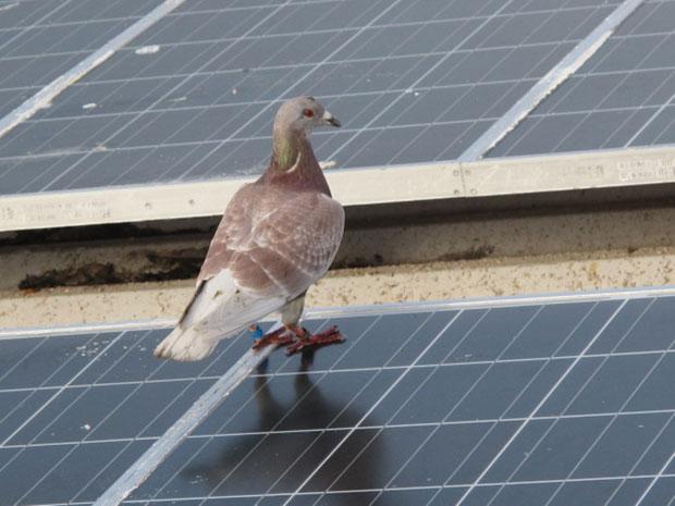 Com 'GPS na cabeça', pombos foram usados por muito tempo na transmissão de mensagens. Este pombo-correio foi fotografado em fevereiro no arquipélago de São Pedro e São Paulo (Foto: Eduardo Carvalho/Globo Natureza)