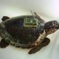 Ao estudarem a readaptação de tartarugas marinhas cabeçudas ao seu meio ambiente, uma equipe de cientistas da Universidade de Barcelona descobriu que, mesmo após uma longa recuperação em centros de […]
