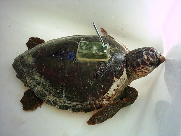 Tartaruga cabeçuda com o transmissor por satélite acoplado em seu casco. (Foto: Universidade de Barcelona)