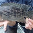 O bom pescador sabe que quando se fisga uma tilápia é preciso manuseá-la com cuidado. Num piscar de olhos, esse peixe espinhoso e arisco pode ferir a mão com seu […]
