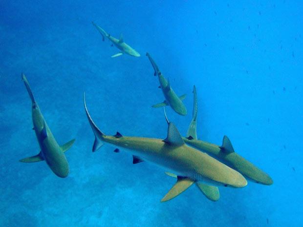 Tubarões da espécie Carcharhinus amlyrhynchos são fotografados no atol de Kure, no oceano Pacífico. (Foto: P. Ayotte)
