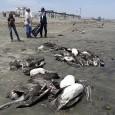 O governo peruano disse nesta semana que 4.450 aves, a maioria pelicanos, morreram na costa norte do país ao longo dos últimos meses. Recentemente,a morte de quase 877 golfinhos intrigou […]