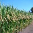 A proposta de plantio de 300 mil hectares de arroz no Marajó exige amplo debate público sobre o tema, em vista do grande impacto que esta intervenção enseja. A chegada […]