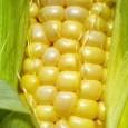 Cidade do México, México, 18/5/2012 – A crise alimentar, agravada pelo uso do milho e de outros grãos na produção de etanol, é um dos assuntos centrais abordados ontem e […]
