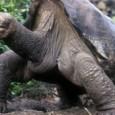 A tartaruga gigante George, o Solitário, o último exemplar de sua subespécie, morreu neste domingo nas Ilhas Galápagos. O animal viveu por cem anos, mas não foi capaz de procriar. […]
