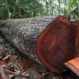 Uma concessão onde não foi derrubada nenhuma árvore, mas foi extraída madeira; uma árvore mágica que produziu 311 metros cúbicos de cedro, suficiente para cobrir dois campos de futebol; supervisores […]