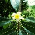 O extrato da planta Kielmeyera Aureovinosa, recém descoberta na flora brasileira, animou os pesquisadores da empresa Extracta Moléculas Naturais. A substância, nomeada Aureociclina é capaz de combater a bactéria Staphylococcus […]