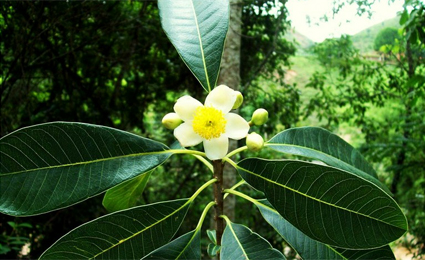 A planta Kielmeyera Aureovinosa era desconhecida. Foto: Mario Gomes (Extracta)