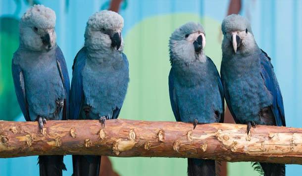 A ACTP, Association for the Conservation of Threatened Parrots, mantém 7 ararinhas em cativeiro. Da esquerda para a direita estão Felicitas, Frieda, Paula e Paul. (Foto: Patrick Pleul /dpa/Zentralbild)