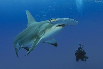 Um fotógrafo mergulha perto de um tubarão-martelo gigante. Foto: Jim Abertnethy/Cortesia Pew Environment Group.
