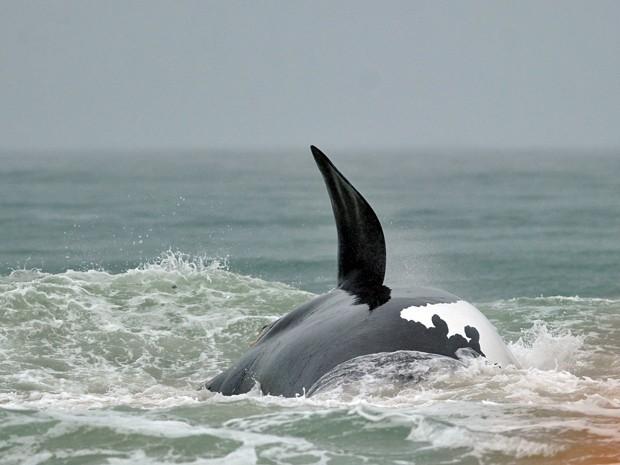 Exemplar de baleia-franco-austral nada próximo a Florianópolis, Santa Catarina. Impasse bloqueia projeto que cria Santuário de proteção a baleias entre a América do Sul e a África. (Foto: Guto Kuerten / Agência RBS)