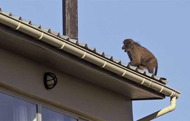 Babuíno em telhado de uma casa em Scarborough, nas imediações da Cidade do Cabo. (Foto: AP)