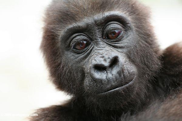 Imagem: Jovem gorila da floresta tropical do Congo / Rhett A. Butler