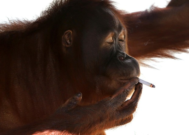 A orangotango Tori, que foi isolada do público para parar de fumar (Foto: AP)