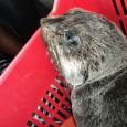 Um filhote de lobo-marinho foi encontrado por um pescador nesta quarta-feira (25), na Praia do Pontal, em Maceió. Segundo pesquisadores do Instituto Biota de Conservação, o animal estava desidratado e […]