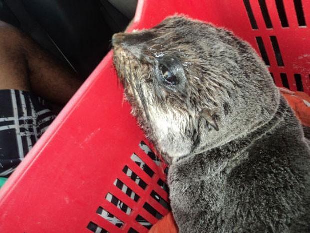 Lobo-marinho é encontrado por pescador em praia do litoral de Alagoas (Foto: Divulgação/Instituto Biota de Conservação)