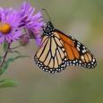 Devido à perda de habitats e ao aquecimento global, as populações das borboletas-monarca têm caído anualmente e a espécie pode muito em breve entrar na lista das ameaçadas. Mas não […]